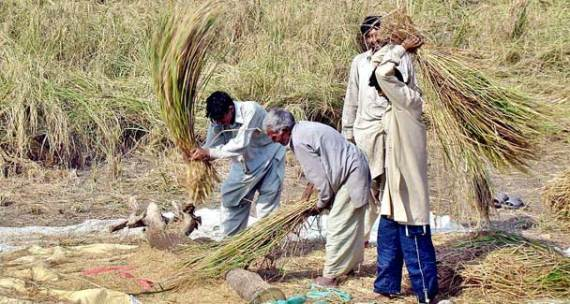 It has been alleged that Passco had been assigned to buy rain-damaged paddy for 30 days from the rain-affected areas, but it stopped buying within six days. - APP/File photo
