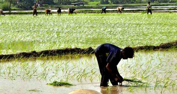 A seasonal worker harvests rice in Sheikhupura - APP photo.