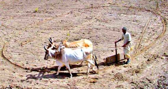 farm-oxen-app-608